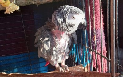 First Impressions- Tips For Adopting/Fostering A Rescue Parrot