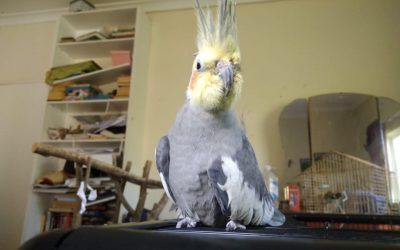The mother of cockatiels' guide to adoption application success