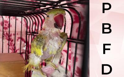 Psittacine Beak and Feather Disease (PBFD)